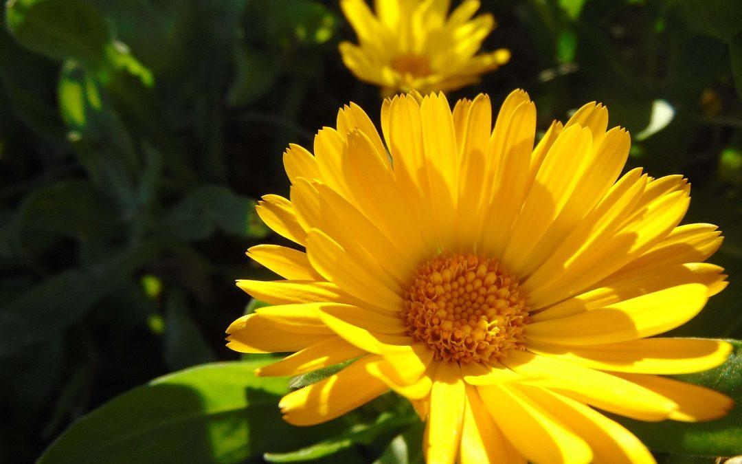 la fleur de calendula